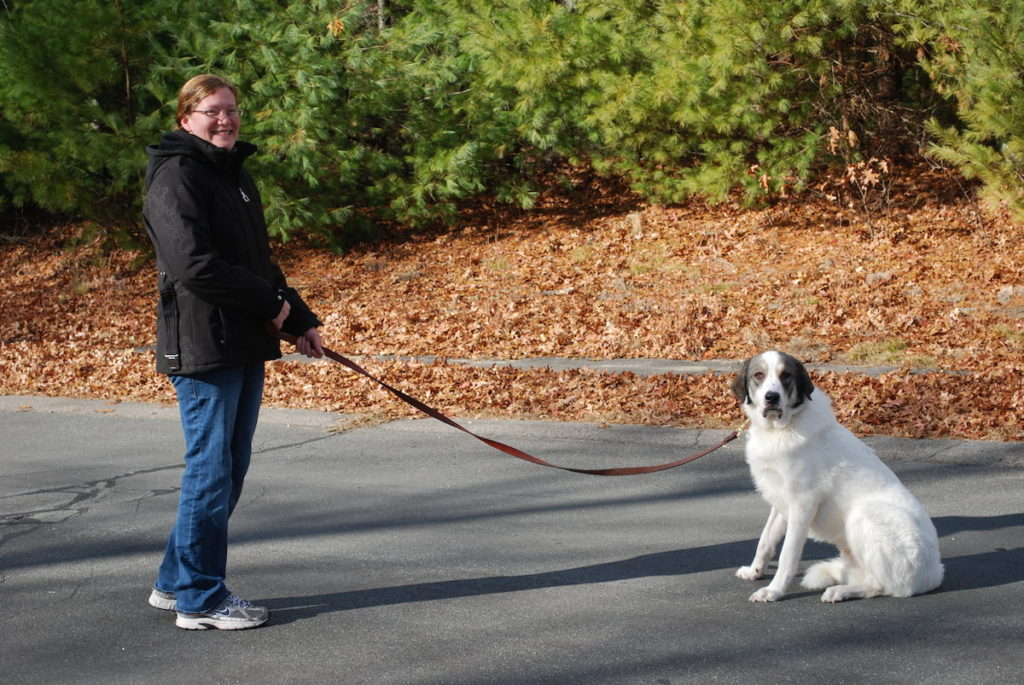 Roger, Great Pyrenees, Halifax, MA - Overcame various fears, especially of being outdoors